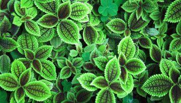 Sfeerbeeld bij het blog over ongevraagd advies geven. Close-up, bovenaanzicht, van diverse plantjes. Stevige, donzige, puntvormige blaadjes. Enkele klavertjes vier. In bruin, groen en wit.