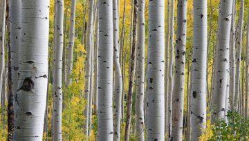 Sfeerbeeld bij het blog over de bejaarde blik. Zijaanzicht van de stammen van een berkenbos. Parallelle stammen, in wit, de groeilijnen zichtbaar. Op de achtergrond struiken en bomen in groen en geel.