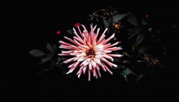 Sfeerbeeld bij het blog over het Depressiegala. Foto van een roze bloem tegen een zwarte achtergrond. Bovenaanzicht. De blaadjes donkergroen, haast zwart en verdord. De bloem in volle bloei.