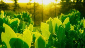 Sfeerbeeld bij het dialoogblog over vroeg opstaan. Een veld met planten, van dichtbij, het ochtendlicht door de bladeren heen schijnend, de nerven zichtbaar. Het beeld vertegenwoordigt iets van optimisme en vanzelfsprekendheid.