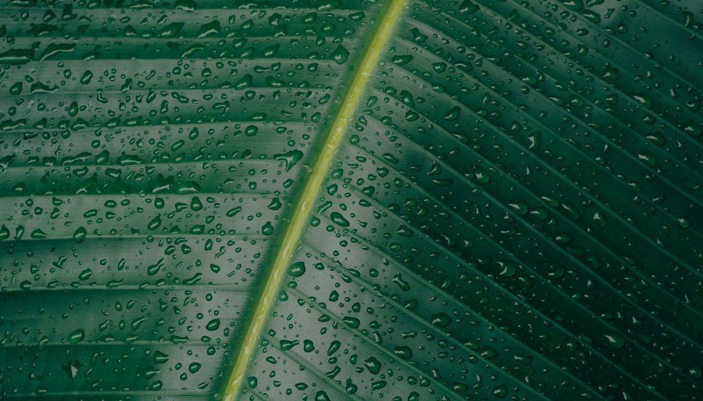 Sfeerbeeld bij het dialoogblog over zelfobservatie. Close-up van het oppervlak van een palmblad met waterdruppels. De nerven goed zichtbaar, de bladeren in donkergroen, de midden-nerf in geel.
