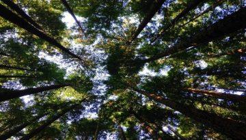 Sfeerbeeld bij het dialoogblog over kwaliteiten. Bos met lange, hoge bomen, vanuit kikkerperspectief. Scherp contrast tussen het donker onderin en de lichte hemel boven. In bruin, wit en groen.