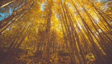 Sfeerbeeld bij een blog met als titel Lampje. Een berkenbos, vanuit kikkerperspectief, goudgeel, de toppen niet zichtbaar, contrast tussen de crèmekleurige stammen en de donkerbruine kale takken onderin.
