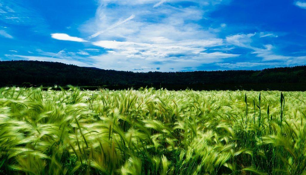 Sfeerbeeld bij blog over een tekstje met als titel Uitgekauwd en herkauwd. Een weide met wuivend graan met zachte haren. Op de achtergrond donkere begroeiing en een blauwe hemel met witte wolken.