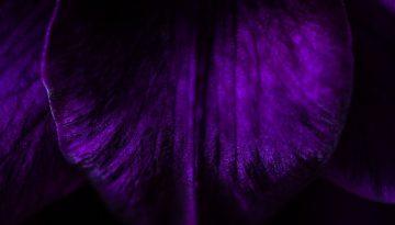 Sfeerbeeld bij dialoogblog over de projectie van een huidige toestand van werkloosheid op de toekomst. Close-up van donkerpaarse bloemblaadjes. Een fluwelen kwaliteit, de stoffige haartjes en bladnerven zichtbaar. Ter illustratie van de zintuigelijke gevoeligheid van de cliënt in kwestie.