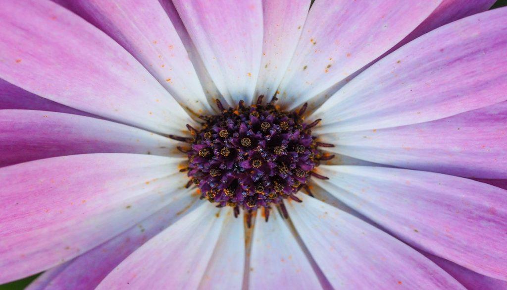 Sfeerbeeld bij dialoogblog over tekstgevoeligheid. Close-up van een roze-paarse bloem, bovenaanzicht van het hart en de bloemblaadjes. Een margriet of gerbera kan het zijn.