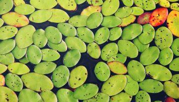 Sfeerbeeld bij het dialoogblog over diverse diagnoses. Close-up van een vijver van bovenaf. Het wateroppervlak haast geheel bedekt met de platte bladeren van waterplanten. In groen, geel, rood en bordeaux. Via de niet-bedekte gedeelten zijn de wortels van de planten te zien.