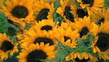 Sfeerbeeld bij het 1e dialoogblog over overenthousiasme. Een groep van zo'nm 30 zonnebloemen, van dichtbij, de bloemen alle kanten op, dicht tegen elkaar aan.