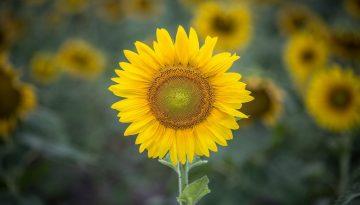 Sfeerbeeld bij het 2e dialoogblog over overenthousiasme. Een solo van een zonnebloem, fier en eenvoudig rechtop. Op de achtergrond vervaagd meer zonnebloemen.