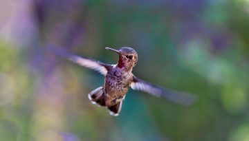 Sfeerbeeld bij blog 2 over anonieme cliënt Michal. Close-up van kolibrie, stil hangend in de lucht, met snelle vleugelslag.