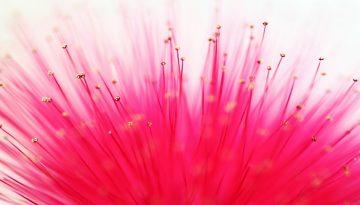 Sfeerbeeld bij blog Barbapapa. Close-up van felroze bloemhaartjes met lichtgele kopjes, tegen witte achtergrond.