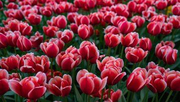 SFeerbeeld bij blog 3 van cliënt Jim. Een veld vol ontloken rood-witte tulpen, in een grauw grillig licht.