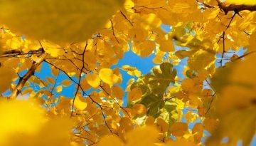 Sfeerbeeld bij blog 5 van cliënt Jim. Doorkijk van onderaf op een geel bladerdak, afgetekend op een felblauwe lucht.