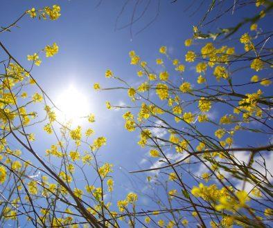 Sfeerbeeld bij blog 2 over anonieme cliënt Woud. Onderaanzicht van een blauwe licht met felle zon, gezien tussen gele bloemen door.