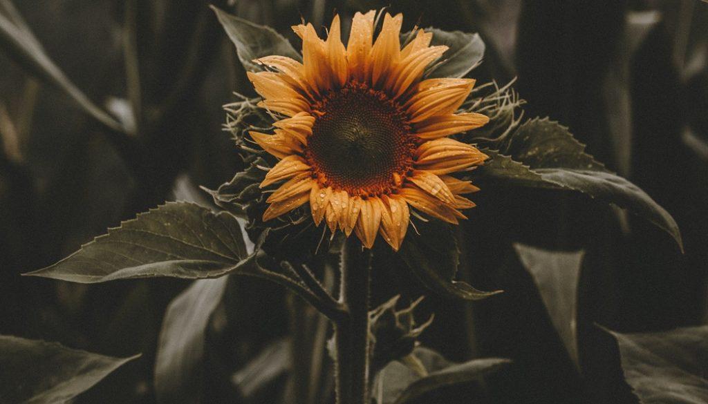 Sfeerbeeld bij blog 1 over anonieme cliënte Flora. Heldergele zonnebloem in veld van donkergroengrijze stelen en bladeren.
