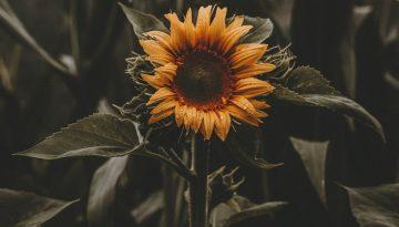 Sfeerbeeld bij blog 1 van anonieme cliënte Flora. Heldergele zonnebloem in veld van donkergroengrijze stelen en bladeren.