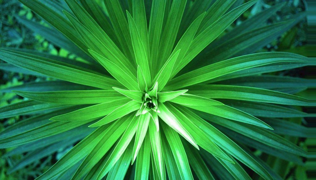Sfeerbeeld bij blog 3 van anonieme cliënte Flora. Bovenaanzicht van een Yucca palm met stevig stervormig bladergeheel, van licht naar donker.