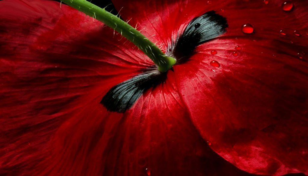 Sfeerbeeld bij blog 3 van anonieme cliënte Flora. Beeldvullend onderaanzicht van een dieprode klaproos, de fijne haartjes zichtbaar, alsof ze buigt, waardoor de kijker van bovenaf op de onderzijde van de bloem kijkt.